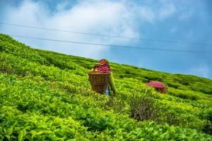 Buy Darjeeling Tea Online
