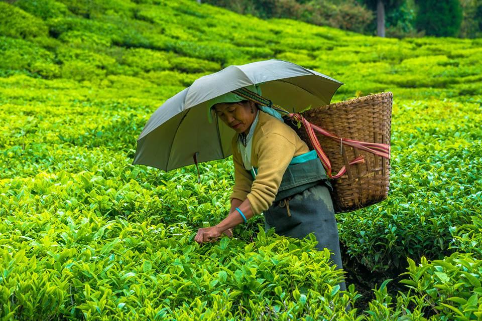 Buy Authentic Darjeeling Tea Online